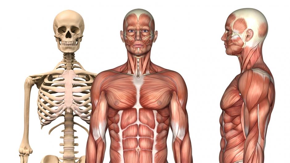 Charmant Oberflächenanatomie Des Armes Galerie - Anatomie Von ...